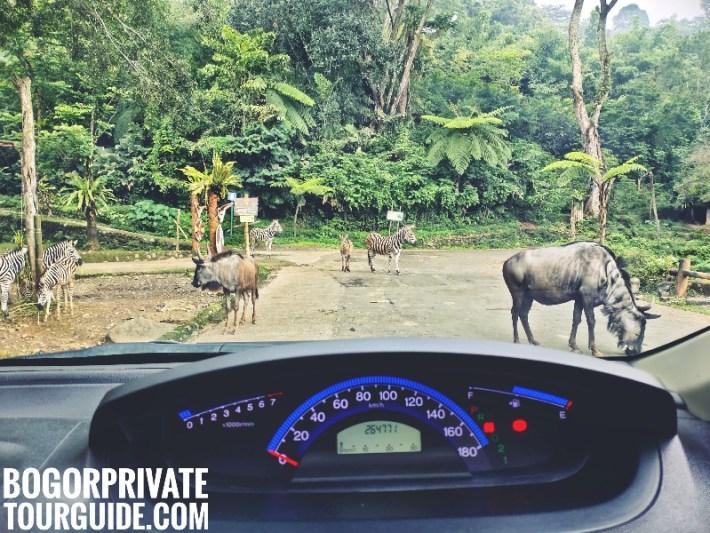 Taman Safari wildlife adventure