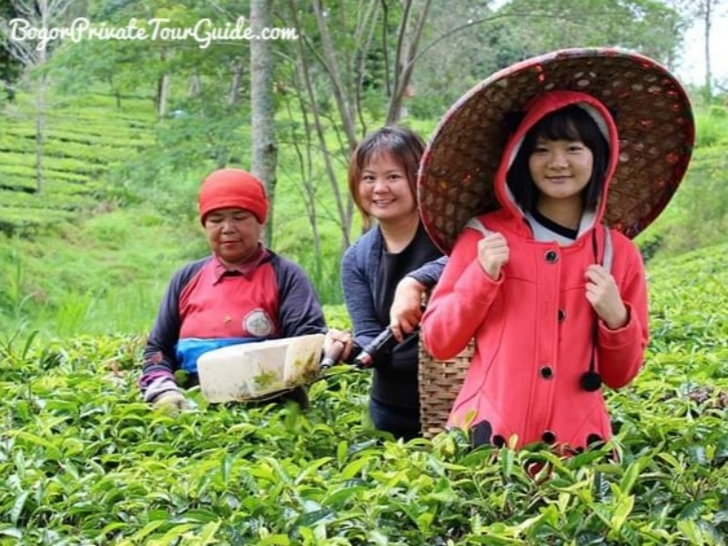 Gunung Mas Tea Plantation