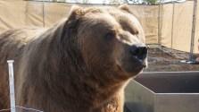 Meet Whopper. He's a Kodiak bear.