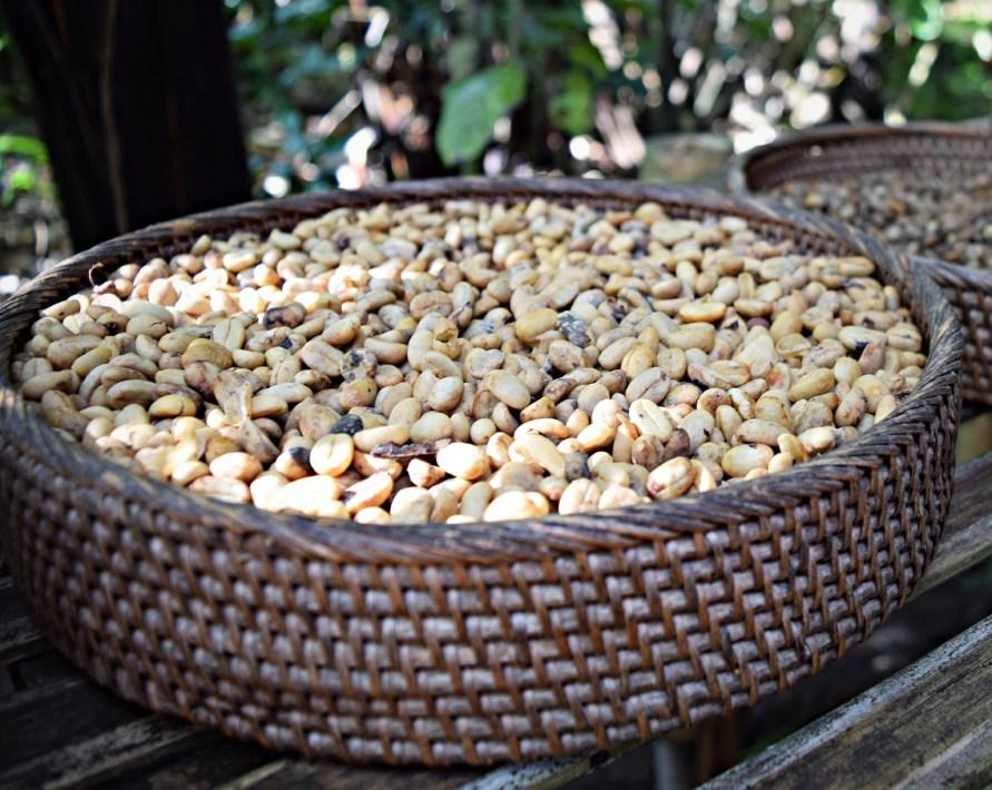 unroasted coffee beans ubud bali