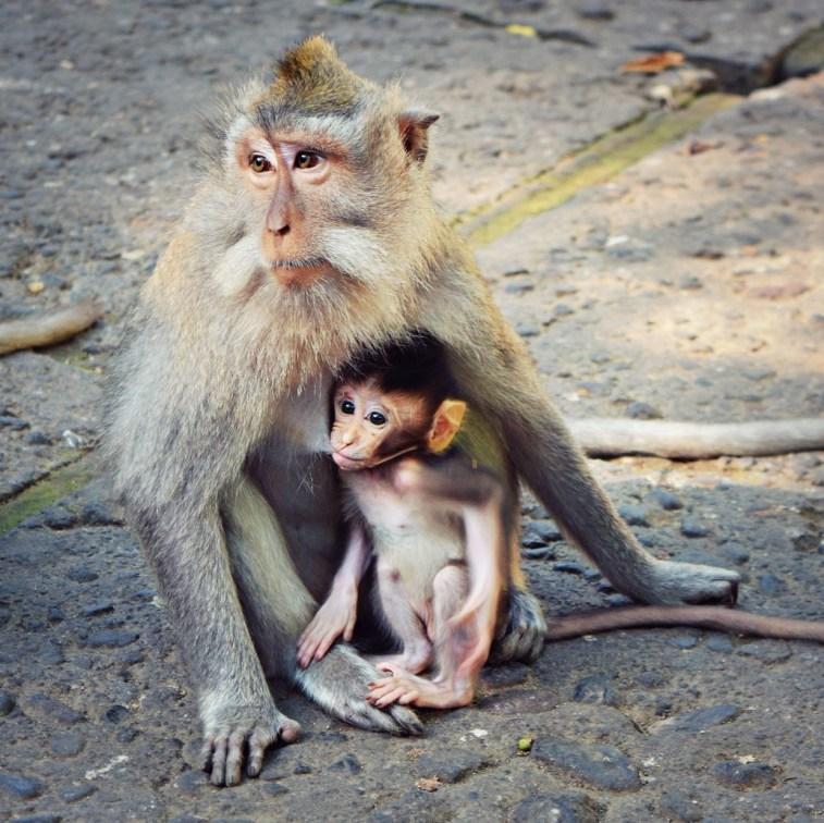 ubud bali monkey forest baby monkey