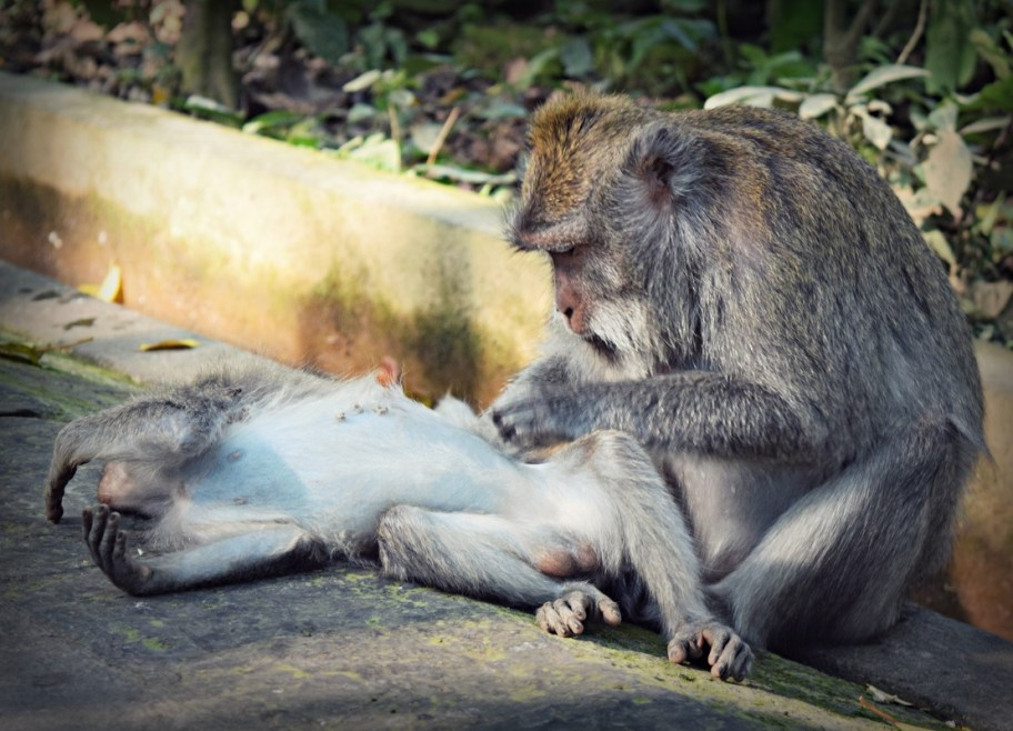 monkeys grooming each other in ubud monkey forest bali Indonesia