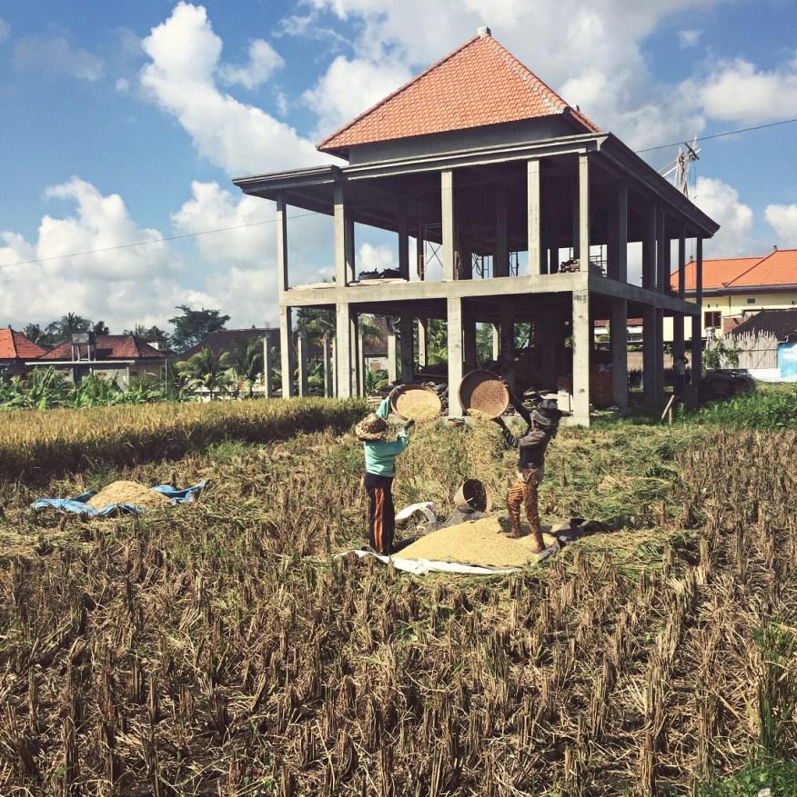Balinese women sifting rice in the fields ubud bali