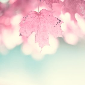 Maple Closeup