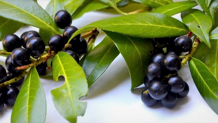 Laurel, anti-inflammatory: here are properties, benefits, use and contraindications
