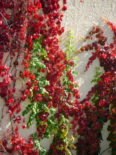Parthenocissus quinquefolia | Boil Vino