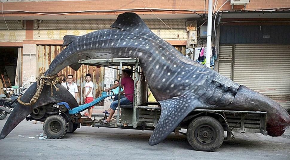 Dead-whale-shark