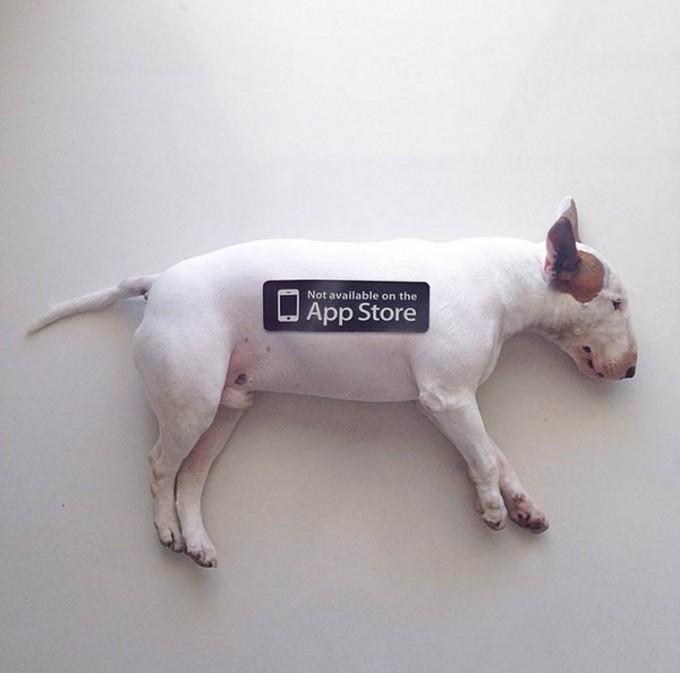 rafael-mantesso-bull-terrier-16