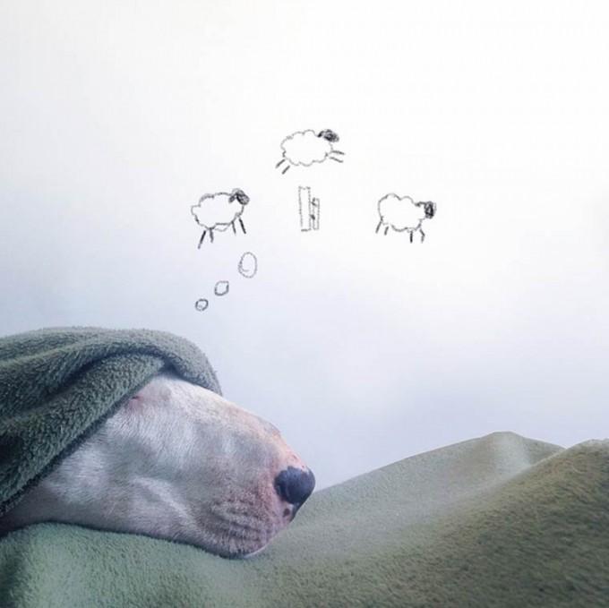 rafael-mantesso-bull-terrier-4