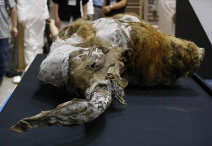 Photo: REUTERS. Yuka, a 39,000-year-old baby mammoth, was found with liquid blood in her veins, a positive sign for scientists wishing to study the animal's DNA.