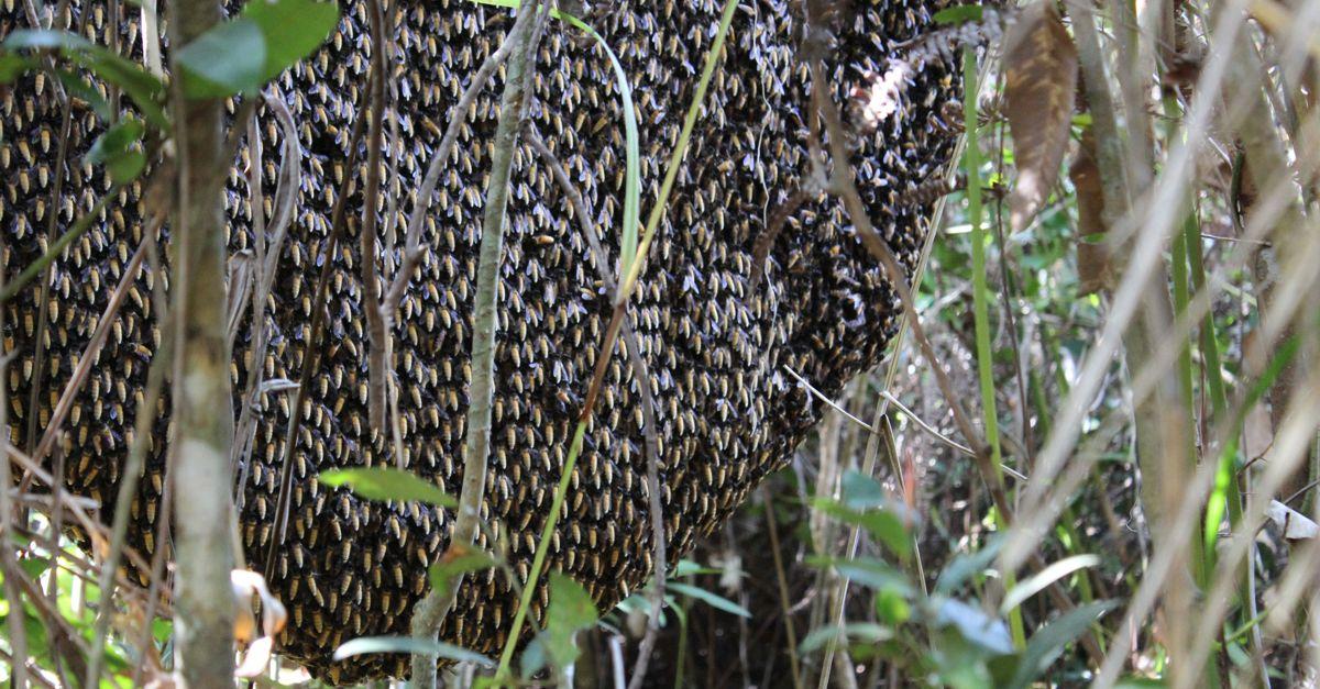 Giant Honeybee Hive in Cambodia