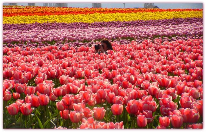 skagit-tulip-lily
