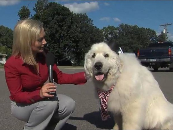 7-Year-Old-Great-Pyrenees-Called-Duke-Becomes-Mayor-of-Minnesota-Town-2