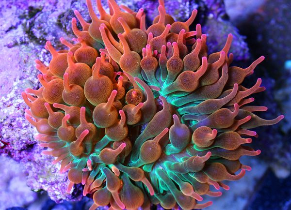 color-anemone