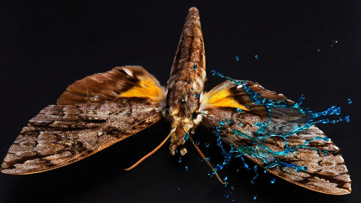 Photo of water hitting butterly wings, from Cornell University
