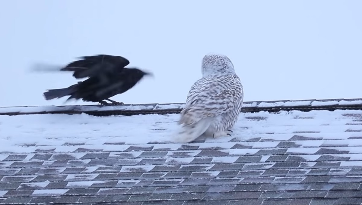 Owl is in raven's spot | Boing Boing