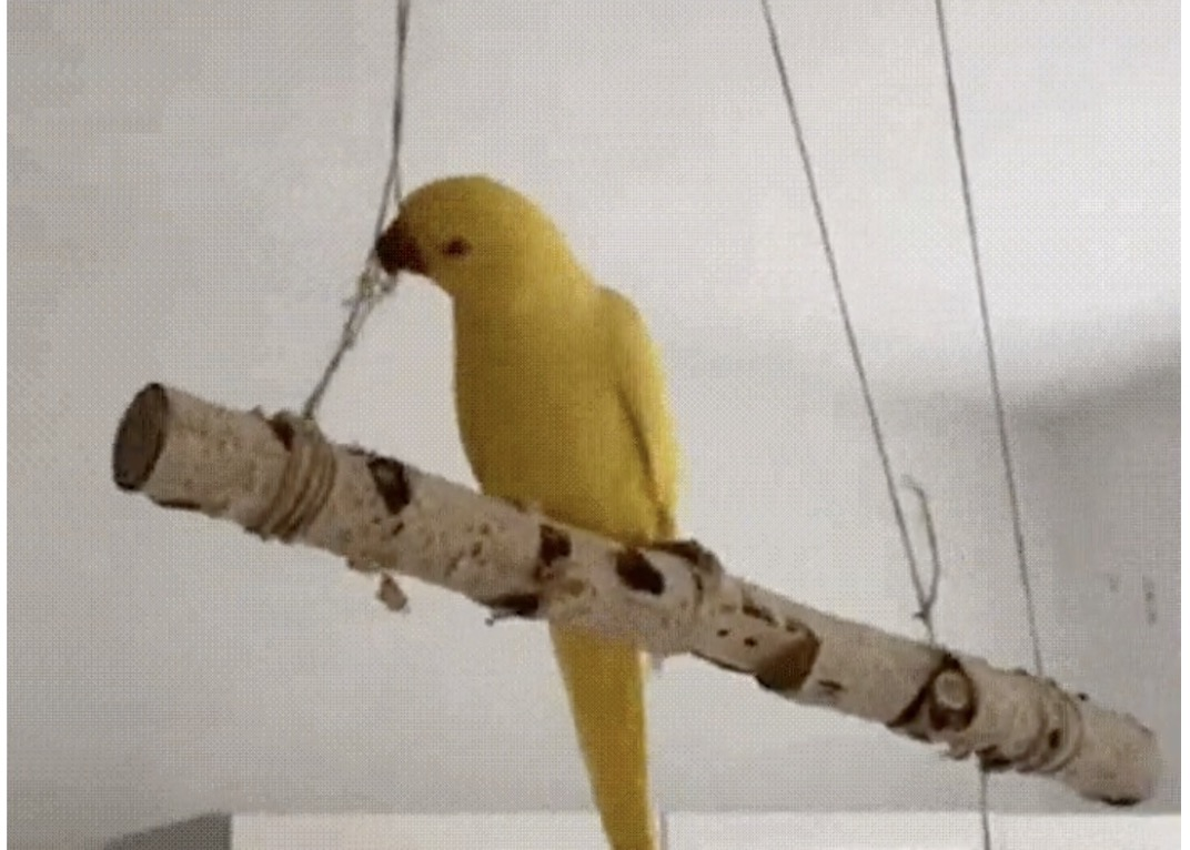 This video of a bird biting off the string that supports its perch is a metaphor for many things in life   Boing Boing