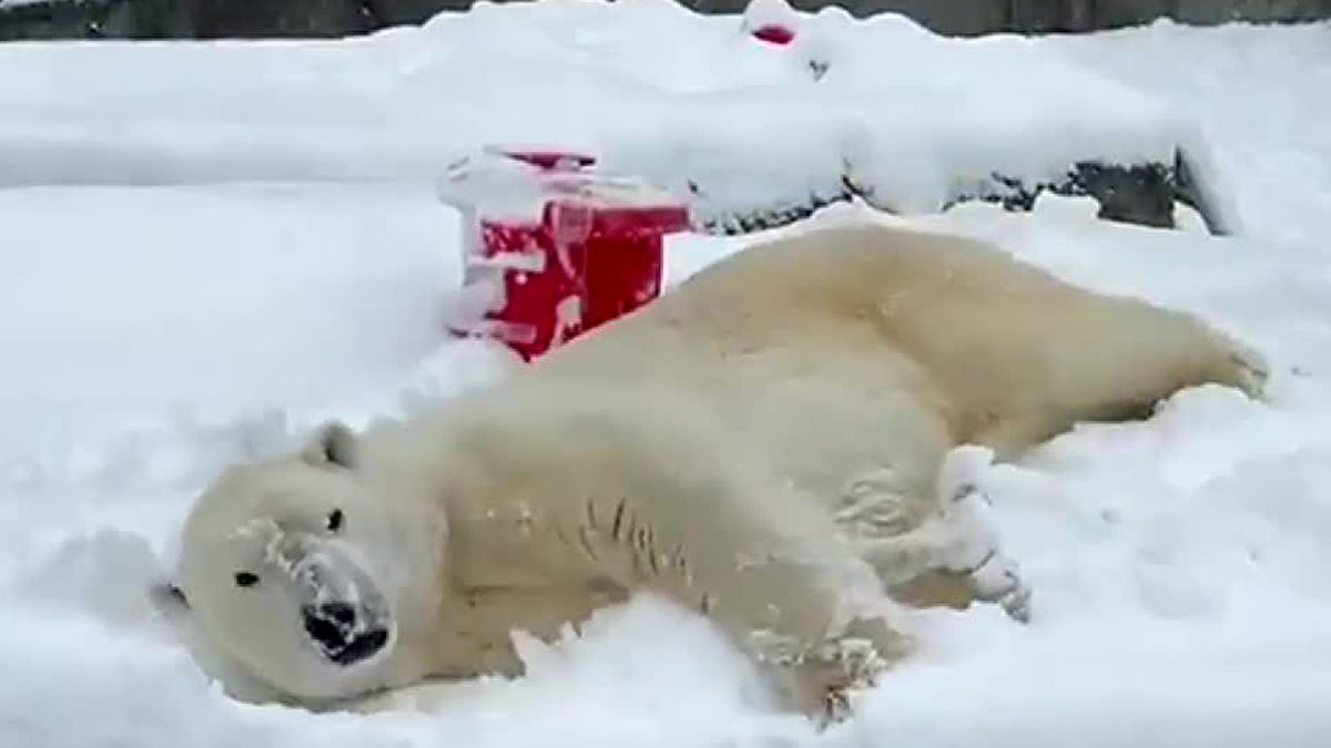 Blizzard the polar bear enjoys a frosty frolic