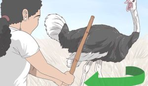 Cartoon of ostrich attack from Wikihow