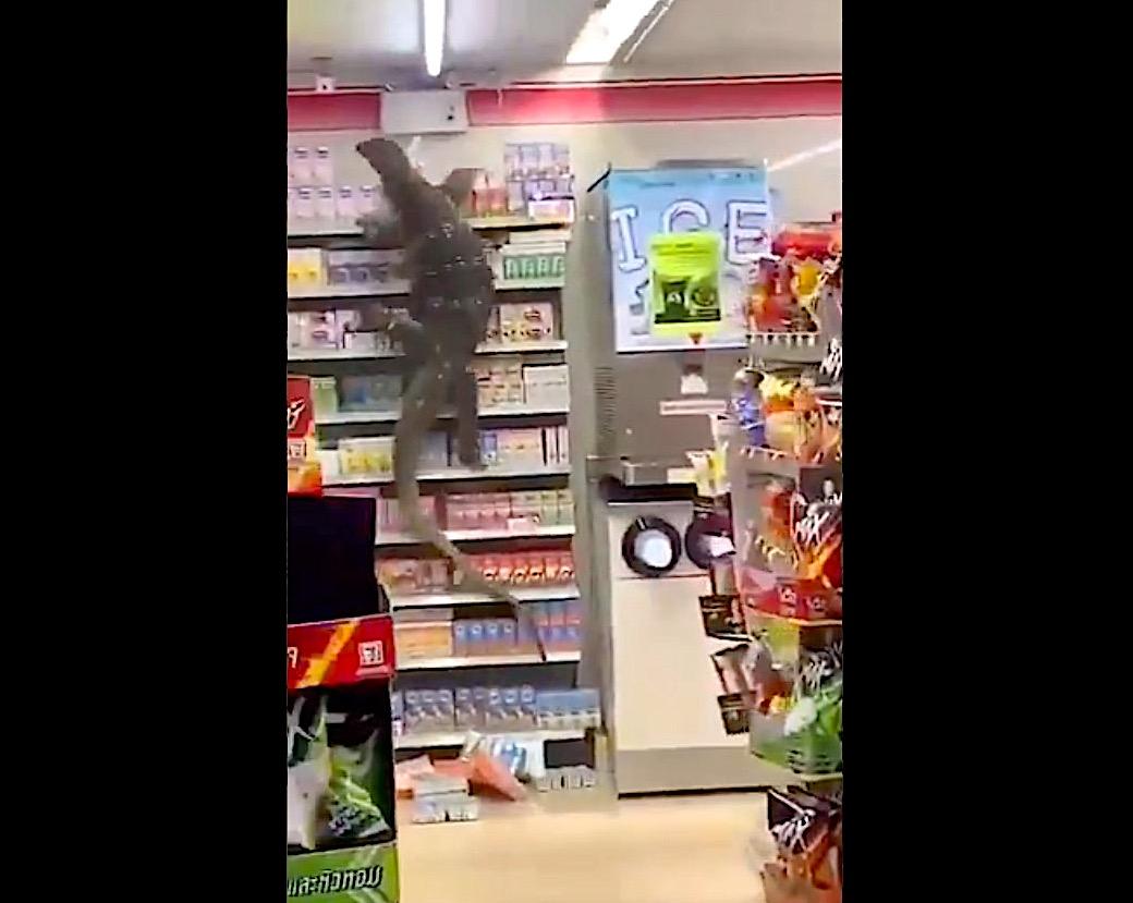 Like a scene from a monster movie, a gargantuan lizard climbs 7-11 shelves in remarkable video