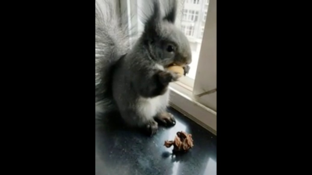 Cute squirrel with big ears swaps things it finds for nuts | Boing Boing