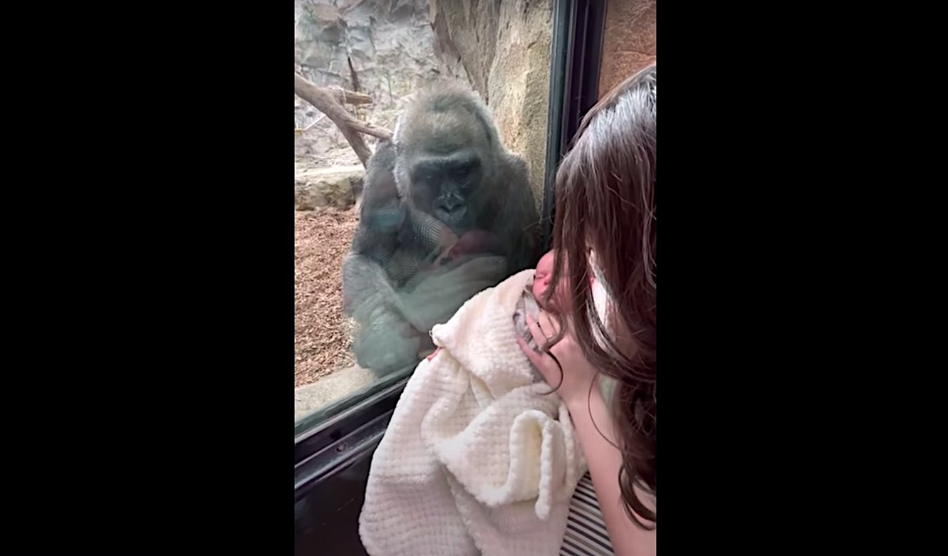 Watch this amazing interaction between a mother gorilla and a human mom with a baby