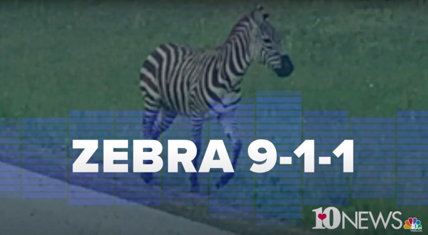 Escaped Zebra ran from police for three hours on a Tennessee highway
