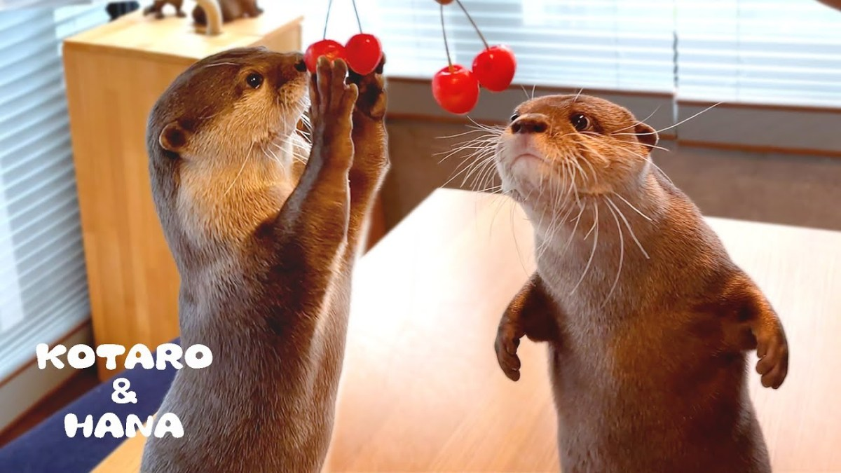 Watch how these most adorable otters react to cherries   Boing Boing