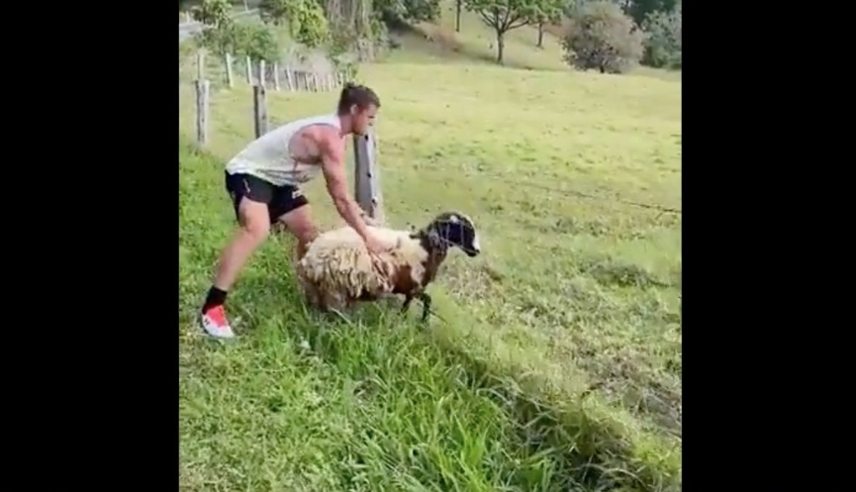 Watch: A sheep with its head stuck in a barbed wire fence is rescued by a human super hero | Boing Boing