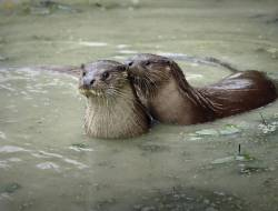 Two otters in a river