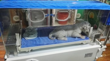Inkubator za tigre