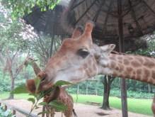 Hranjenje žirafe