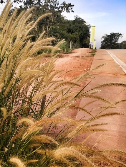Cogon grass line up the entrance of the Blue Zone