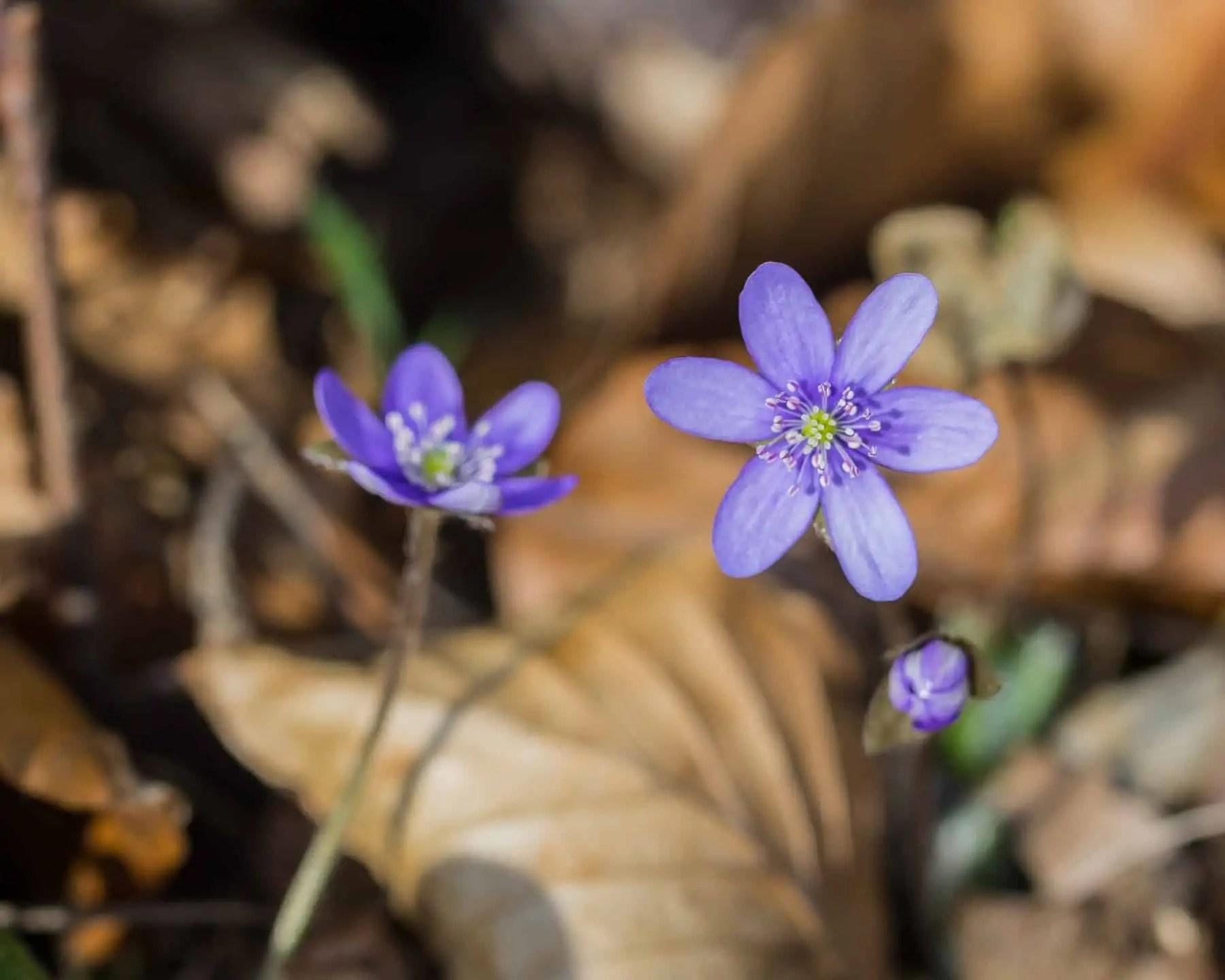 Fotografia przyrodnicza makrofotografia tamron 90 Fioletowy Kwiat leśny - Zasady kompozycji - przewodnik po 20 regułach