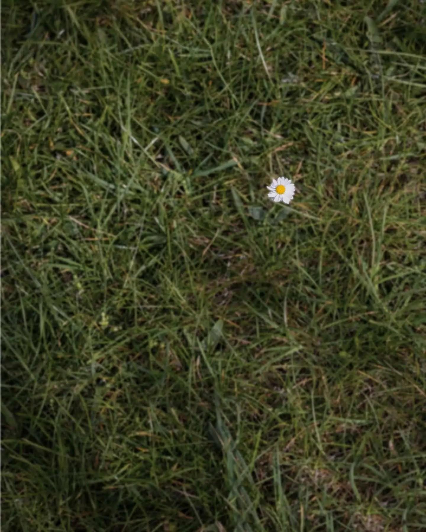 Stokrotka na polanie - Minimalizm w fotografii - wyzwanie fotograficzne