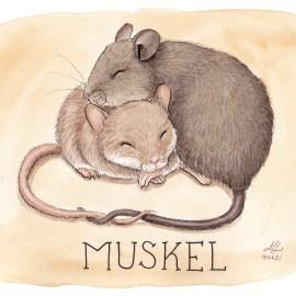 muskel illustration ordvits