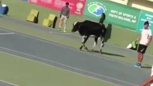"""[Vídeo] Vaca """"invade"""" courts de ténis num torneio ITF na Índia"""