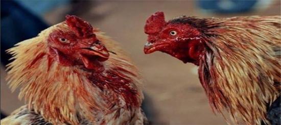 Tips Kembalikan Mental Ayam Bangkok Petarung Usai Kalah Beradu