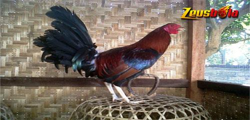 Mengenal Jenis Ayam Aduan Betet Bali