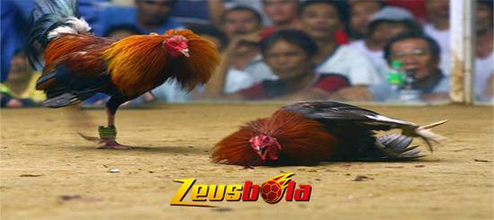 Ciri Khas Membedakan Ayam Birma Dengan Ayam Pama