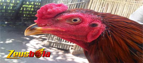 Kenali Ciri-Ciri Paruh Ayam Bangkok Petarung
