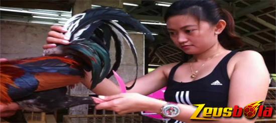 Cara Merawat Bulu Ayam Aduan Super Yang Sedang Mabung