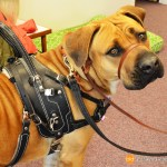BAH and Perfect Pace 2686 - Service Dogs in Action