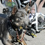 Quad Leash on Jessie with Rob Schuler 2509 - Service Dogs in Action