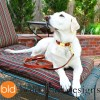 BLD square profile pic Cookie on patio - BLD's Quick Release Collar™ - Leather dog collar with metal buckle