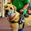 Falcor in MSHXL 0815 - Mobility Support Harness™ for brace and balance stability assistance