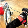 Quick-Release Wheelchair Leash system - a detachable, tangle-free, hands-free setup