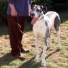 The Big Dog Lead™ - 3 ft. versatile leather leash