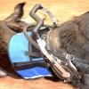 kepler in cape 4697 - Service Dog Cape/Vest