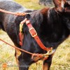 Connected Control harness on Taz 0074 - Connected Control™ Harness: a Leather no-pull dog walking harness (2-point, front-clip design)